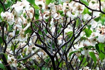 <p>Flowering tree in white</p>
