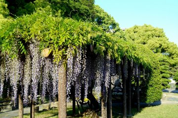 <p>There are also Japanese Wisteria here and there, blooming over the wooden trellis</p>