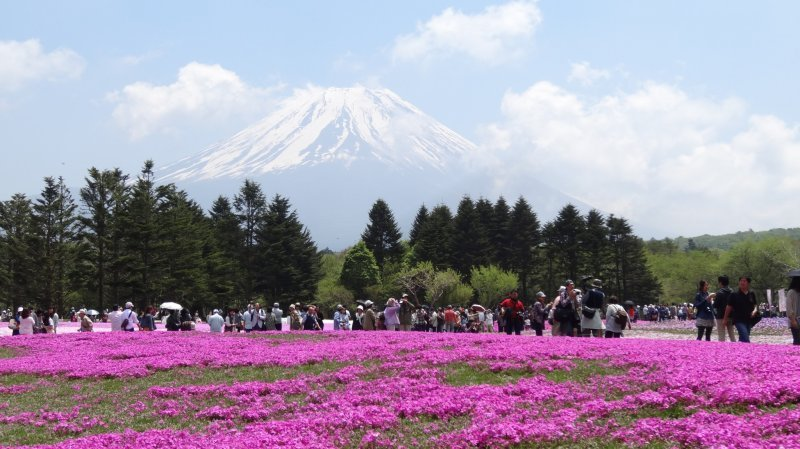 ภูเขาฟูจิสัญาลักษณ์ของญี่ปุ่น กับทุ่งดอกชิบะซะกุระหรือดอก phlox