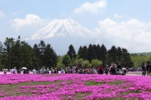 Mount Fuji: the symbol of Japan and the field of shibazakura or phlox blossom