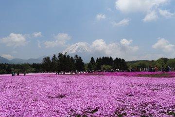 <p>ภูเขาฟูจิสัญาลักษณ์ของญี่ปุ่น กับทุ่งดอกชิบะซะกุระหรือดอก phlox</p>