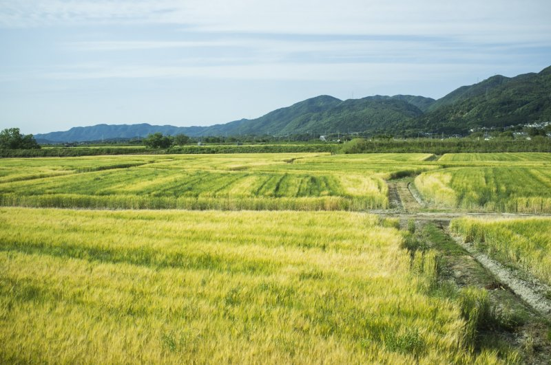 <p>Vast fields of gold along the train ride from Fukuchiyama Station to JR Kyoto Station.</p>
