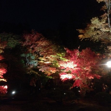 Matsushima Foliage Light Up