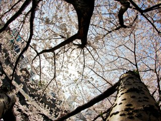 The trees reach out to the sky in their eagerness to embrace the sun for a few days.