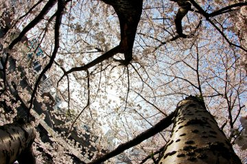 <p>The trees reach out to the sky in their eagerness to embrace the sun for a few days.&nbsp;</p>