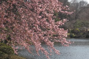Weeping cherry tree by the lake