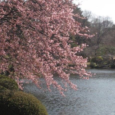 Cherry Trees at Shinjuku Gyoen National Garden