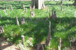 Bald cypress roots