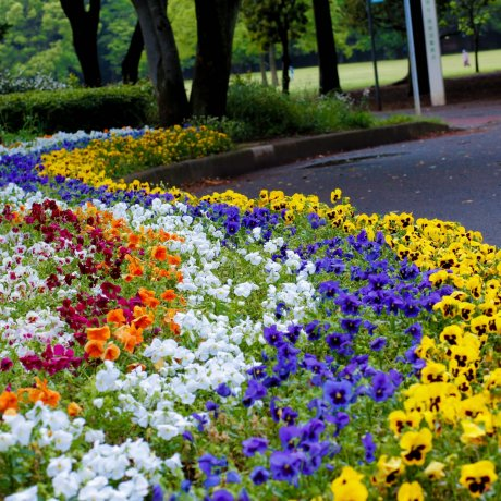 Koganei Park in Western Tokyo