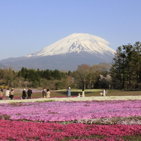 มองภูเขาไฟฟูจิผ่านทุ่งพิ้งค์มอส