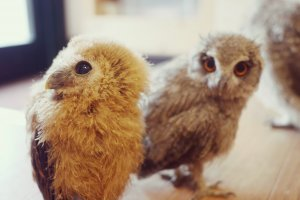 The youngest owls out of their cages during the cleaning