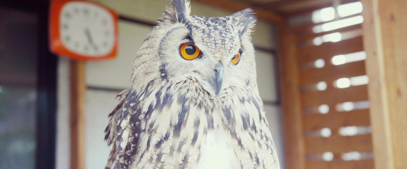 Búho-águila de euroasiático vigilando el vecindario