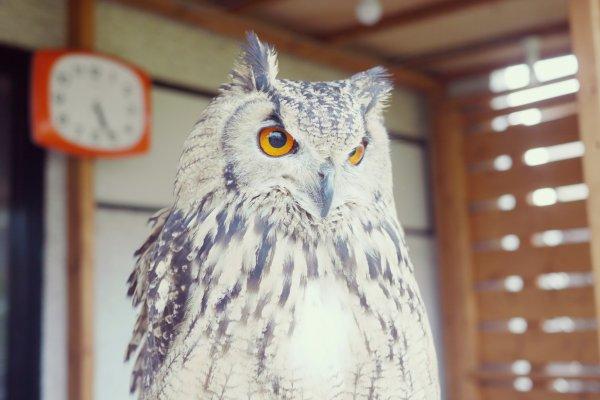 Eurasian Eagle-Owl watching the neighborhood