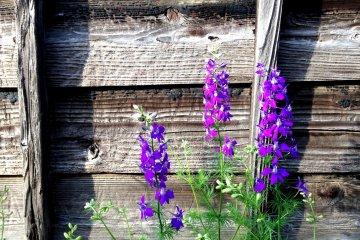 สวนดอกไมแห่งมิฟุเนะ