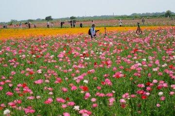 花の町鴻巣のポピー祭り
