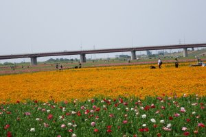 The poppy fields stretch over the Arakawa riverbed