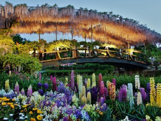 Beautiful arch decorated with wisteria. I had gone to Ashikaga Flower Park expecting to see the wisteria alone, but the varied types of flowers, similar to the one in this photograph's foreground, provide the right contrast to the arch in the background.