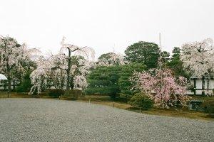 Flores de cerejeira no terreno do Palácio Imperial de Quioto