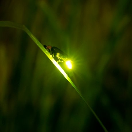 Firefly Viewing in Uji