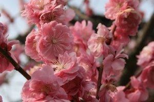 ต้นนี้ดอกสีชมพูสด เราว่าเป็นดอกบ๊วยนะ