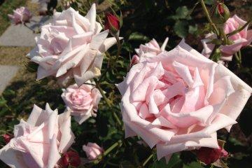 <p>Ring a Ring o&#39; Roses.</p>
