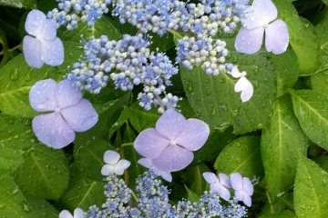 <p>Blue wave hydrangeas are blooming all around the Imperial Palace loop</p>