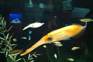 Cool squid -- amazing marine life exhibits in the aquarium