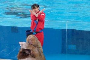 Having fun with walrus