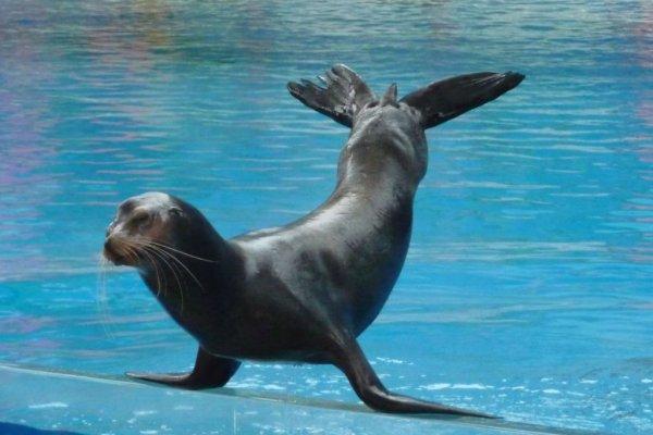 Balancing sea lion