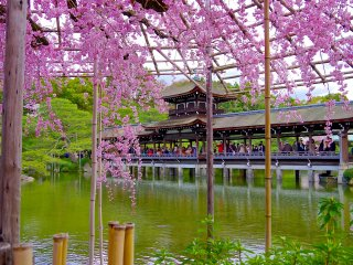 Weeping cheery blossoms and Taihei-kaku Bridge in early April
