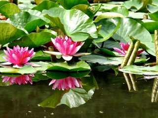 Water lilies and their beautiful reflection