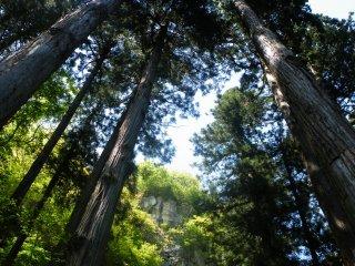 Một trong những điều tôi hoàn toàn yêu thích về Yamadera là sự phong phú của những cây cổ thụ vươn tới bầu trời.