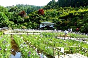 大安禅寺の花菖蒲園