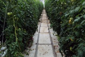 Looking down one of the rows of tomatoes