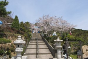 Cherry Blossoms Along the Stairways to the Temple