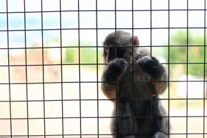 ...ลิง Japanese Macaque มารอรับอาหารจากนักท่องเที่ยว...