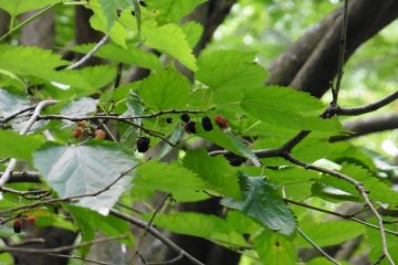 <p>Getting a little hungry during the tour? Have some wild mulberries, but be sure to eat only the black ones!</p>