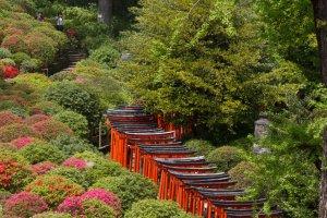 Torii path alongside the azalea garden
