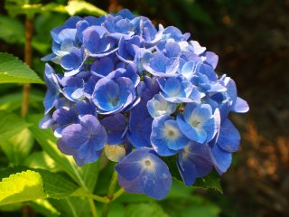 Ajisai Matsuri: In July the annual Hydrangea Festival in the grounds of the ruins of the old15th centuryKurobane Castle, with the old moats filled with Hydrangea..