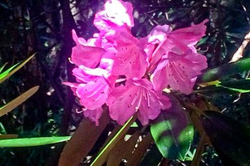 <p>Some brightly pink colored Azaleas</p>