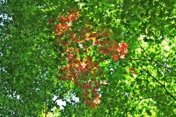 <p>高德寺内 万物皆绿我独红 的枫叶</p>