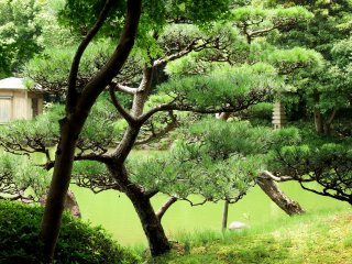 Beautifully-trimmed Japanese pine trees