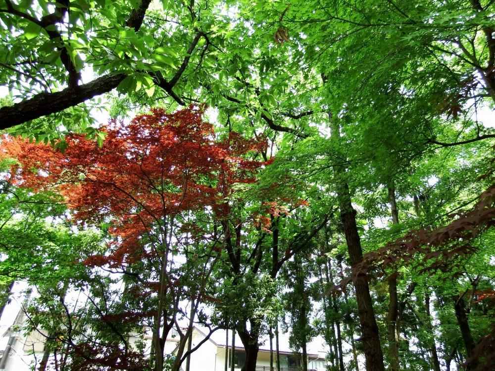 Green and red leaves of Yokokan Garden in summer
