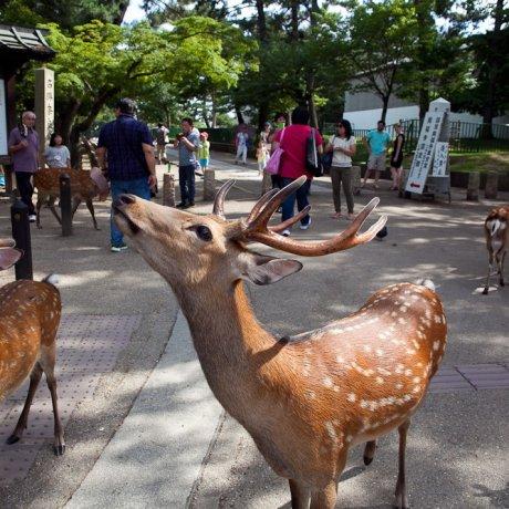 โทะได-จิ ฝูงกวาง และสวนสวยในนารา