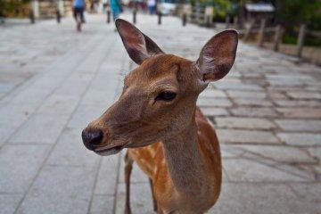 <p>Los ciervos son amigables y no son t&iacute;midos con la c&aacute;mara</p>