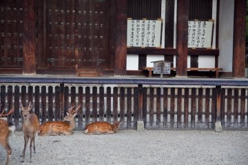 <p>Los ciervos amigables paseando fuera del templo Todaiji</p>