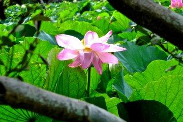 Полюбуйтесь японским лотосом в Камакуре