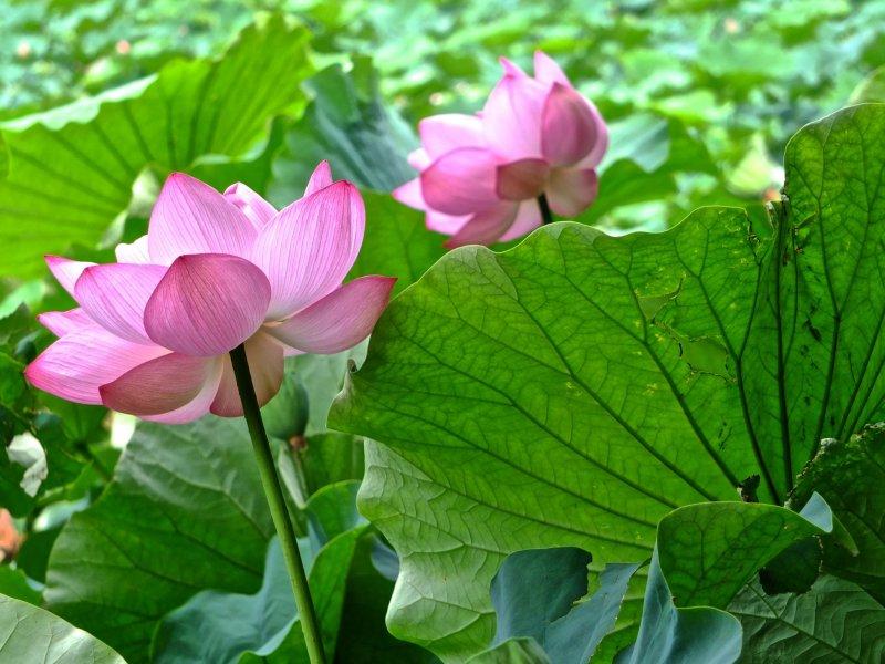 <p>Два друга лотоса в саду Санкеи-эн, Йокогама</p>