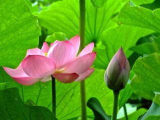 Красивая комбинация лотосов в саду Санкеи-эн, Йокогама