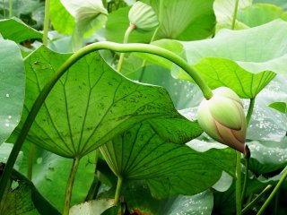 Lekukan mempesona dari tangkai lotus